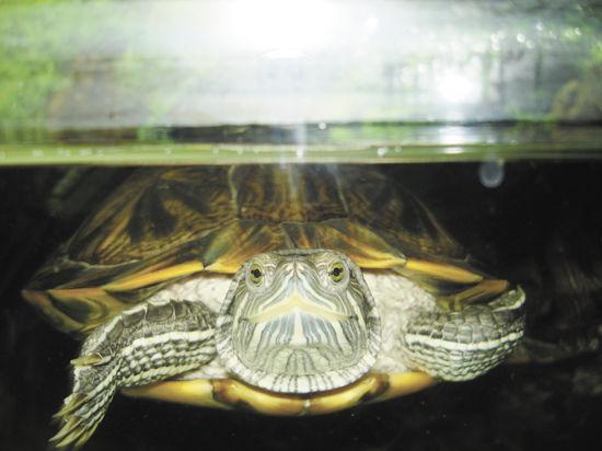 Бич Москвы— тропическая черепаха