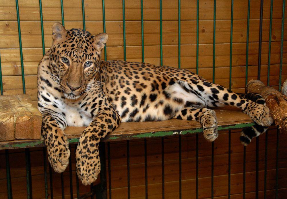 В Подмосковье нашли следы леопарда