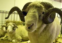 Год Козы или Овцы? Востоковед: на самом деле это год Барана!