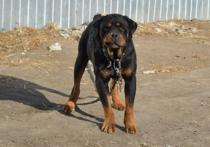 С бойцовских собак хотят снять статус потенциально опасных животных