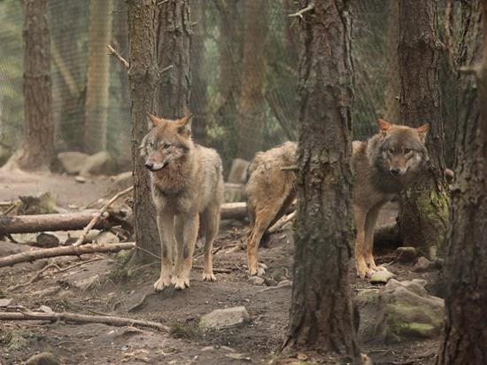 Волков запретили отлавливать петлями в местах обитания снежных барсов