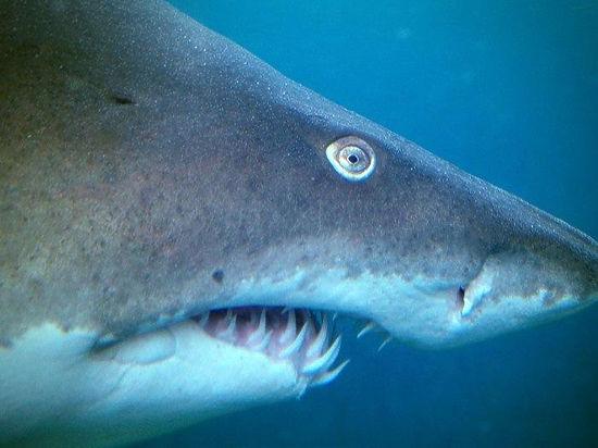 Последним трагическим примером стала гибель акулы в Калининграде, которую запугали до смерти