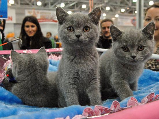 Из дела перекупщицы элитных котят торчат лисьи уши