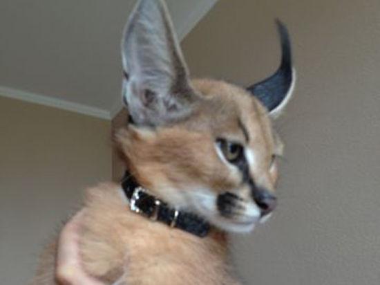 Хозяйка котенка за полмиллиона рублей смогла защитить от грабителей второго питомца