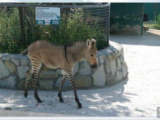 В Крымском зоопарке родился необычный зверь