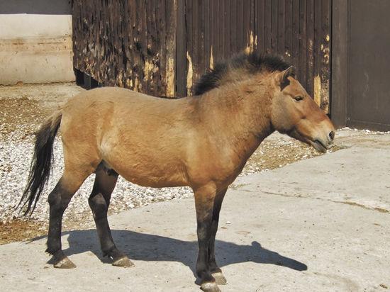 Лошадь Пржевальского примет участие в массовом размножении