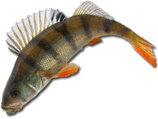 картинки рыба окунь на белом фоне нередко
