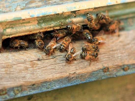 Пчелы защитили плантацию конопли, искусав полицейских