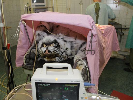Малоподвижный образ жизни лишил самку леопарда радости материнства