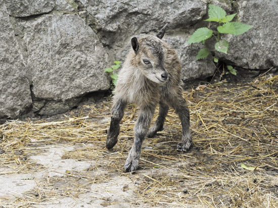 Пополнение копытных в Московском зоопарке: винторогие козлы, дагестанские туры и козероги