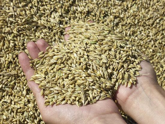 Прежде всего растут поставки «твердой» пшеницы