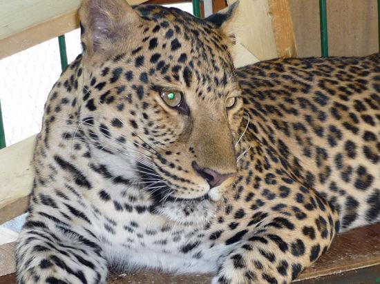 ЧП в подмосковном цирке: дрессировщика агрессивного леопарда уже судили за аналогичный инцидент