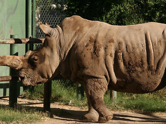 В Америке умер последний на планете самец северного белого носорога: остался южный белый носорог