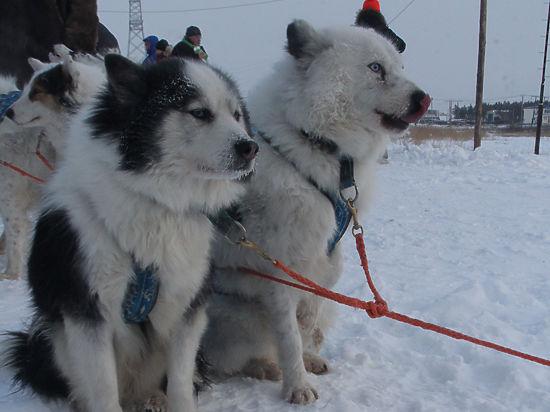 Дед Мороз привезет Новый год в Москву на якутских лайках