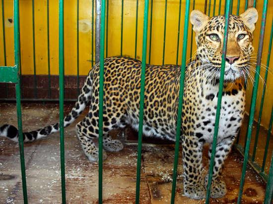 Леопардиху Лину изъяли у хозяина