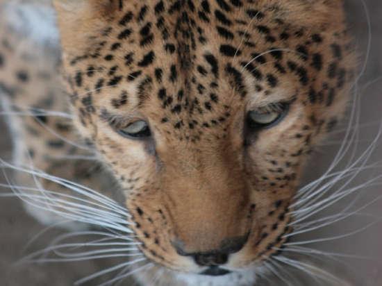Леопард Лина получила травму головы во время перевозки в питомник