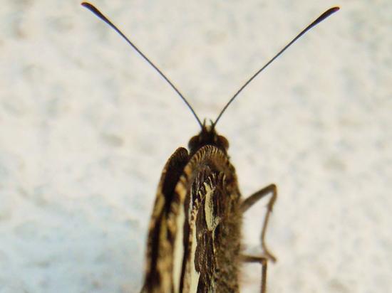 Фукусимские бабочки мутировали из-за облученных растений