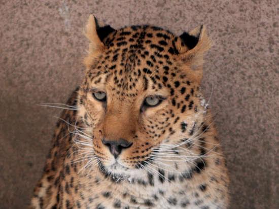 На «тюремщиков» леопарда Лины могут завести уголовное дело