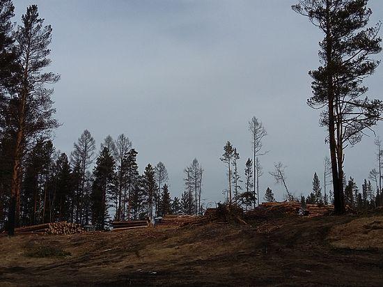 В зеленой зоне Иркутска началась рубка реликтовых сосен под коттеджи