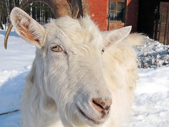 Кому в Новом году коза поможет