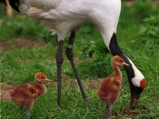 «Журавлиная родина» накроет крыльями всю губернию