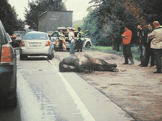 Между жизнью и смертью находится водитель автомобиля по фамилии Сон, столкнувшийся в среду с лошадью на Новобутовской улице.