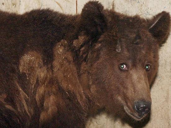 Дави его! - Норильские металлурги сбили медведя, гоняясь за ним на тепловозе
