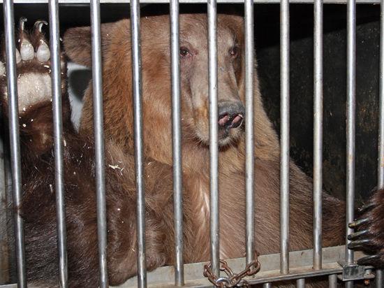 Житель Сибири поселил у себя во дворе двух медведей