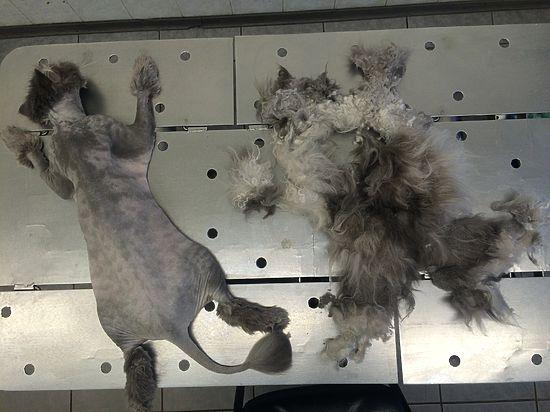 Московские ветеринары обрили налысо кота, которого сковал огромный колтун