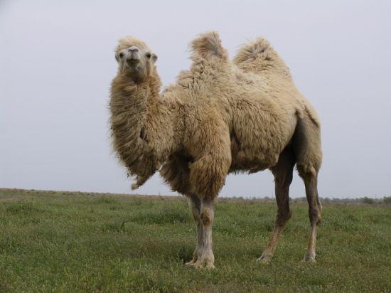 Верблюды – новая туристическая фишка Астраханской области