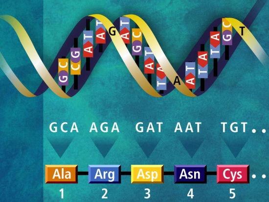 К четырем буквам генетического алфавита