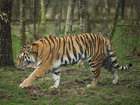 «Тигры Путина» охотятся на кур и коз в Китае