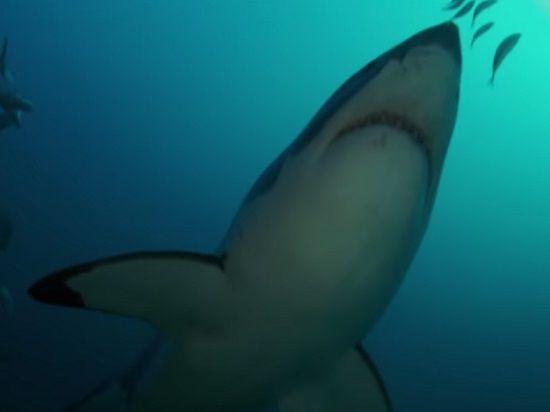 Океанологи нашли монстра, пожирающего больших белых акул