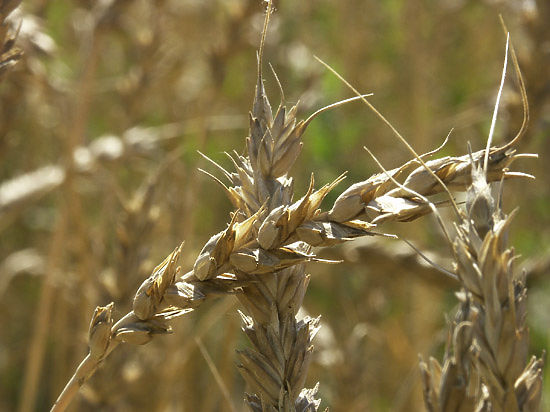 Наше зерно сгниет в закромах Минсельхоза