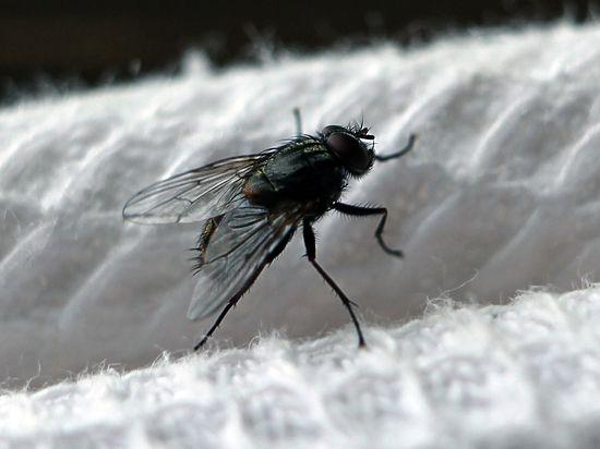 Спасать сочинский самшит будут с помощью китайской мухи