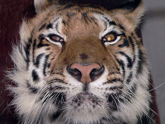 Близ парижского Диснейленда ищут живого тигра