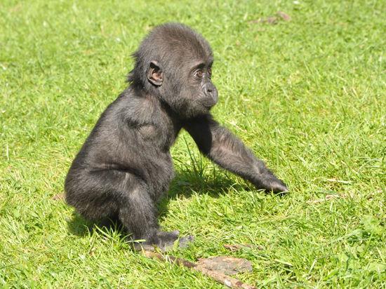 Лишившаяся руки горилла Ама обрела семью  в лице сотрудников Московского зоопарка