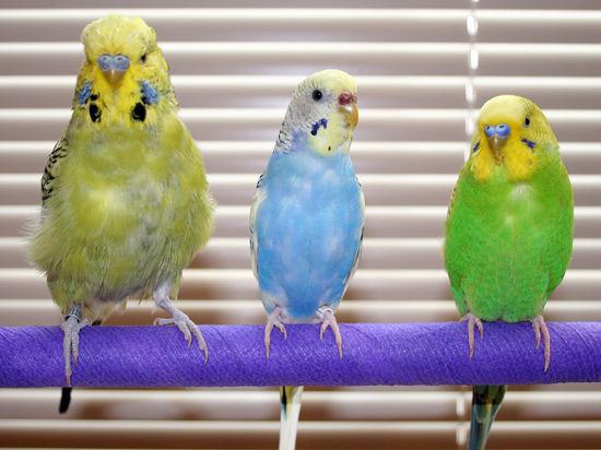 Здоров ли ваш попугай?