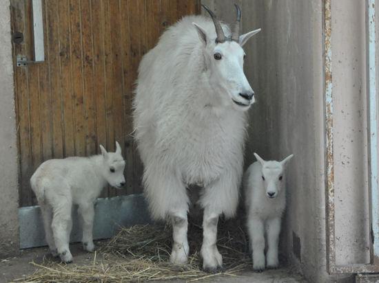 В Московском зоопарке родилась рогатая двойня