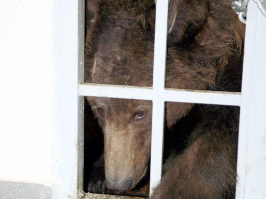 Медведь откусил руку еще одной девочке