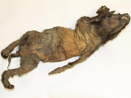 Найденная три года назад в Якутии мумия мамонта оказалась собакой