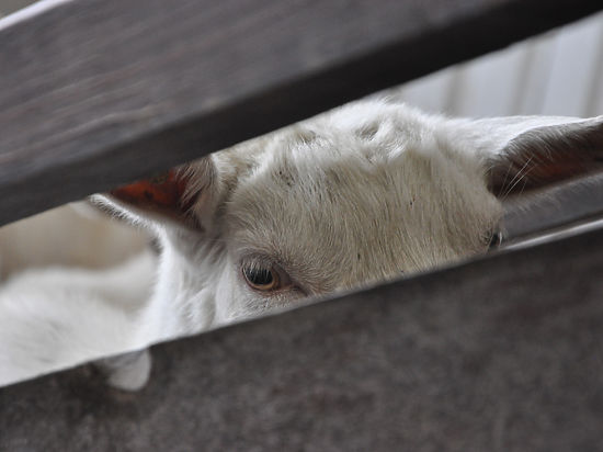 Символ Нового года: Любовь зла — подаришь и козла