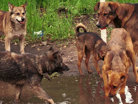 Стая собак загрызла второклассницу на школьном дворе в ЯНАО