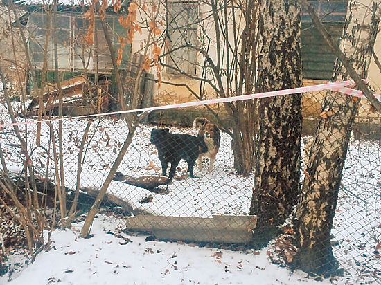 Прирученные бездомные псы загрызли до смерти пенсионерку