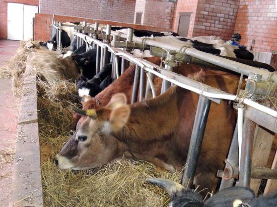 Крымские коровы протестуют против присоединения к России