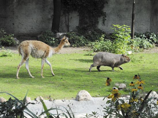 Почему в Московском зоопарке ламы сожительствуют с капибарами