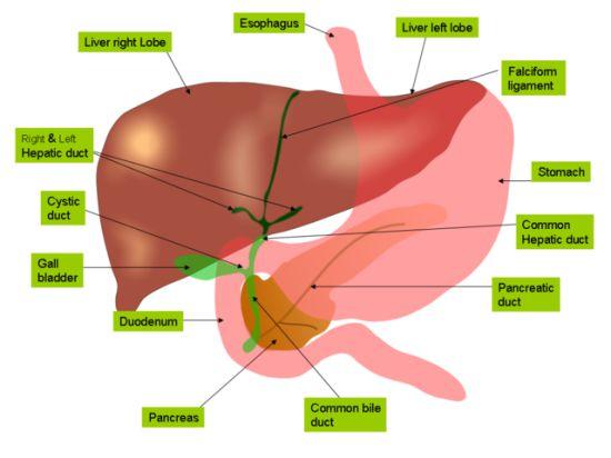 Найдено средство, защищающее от рака печени