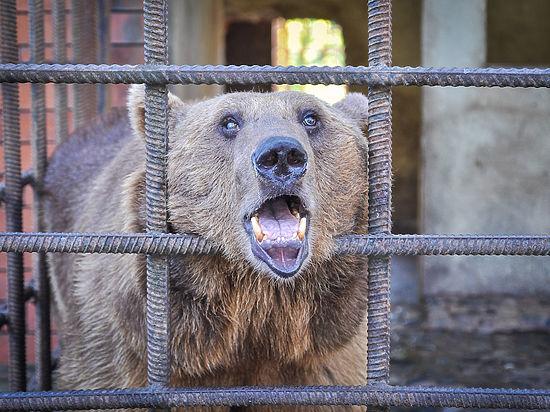 В Сочи медведей спаивают алкоголем