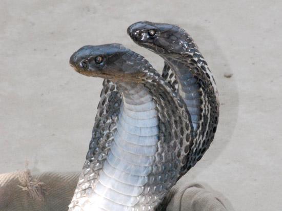 В Подмосковье кобра ужалила хозяина: что делать в случае укуса змеи
