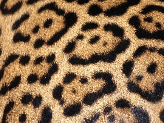 Против коммерсанта возбудили дело, обвинив его в краже узора шкуры леопарда